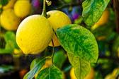 Zitronenbaum_002_DxO.jpg