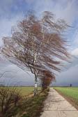 Birke-im-Sturm.jpg